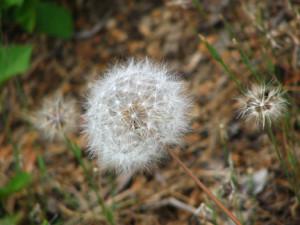CA_wishWildflower-MtShastaOPT
